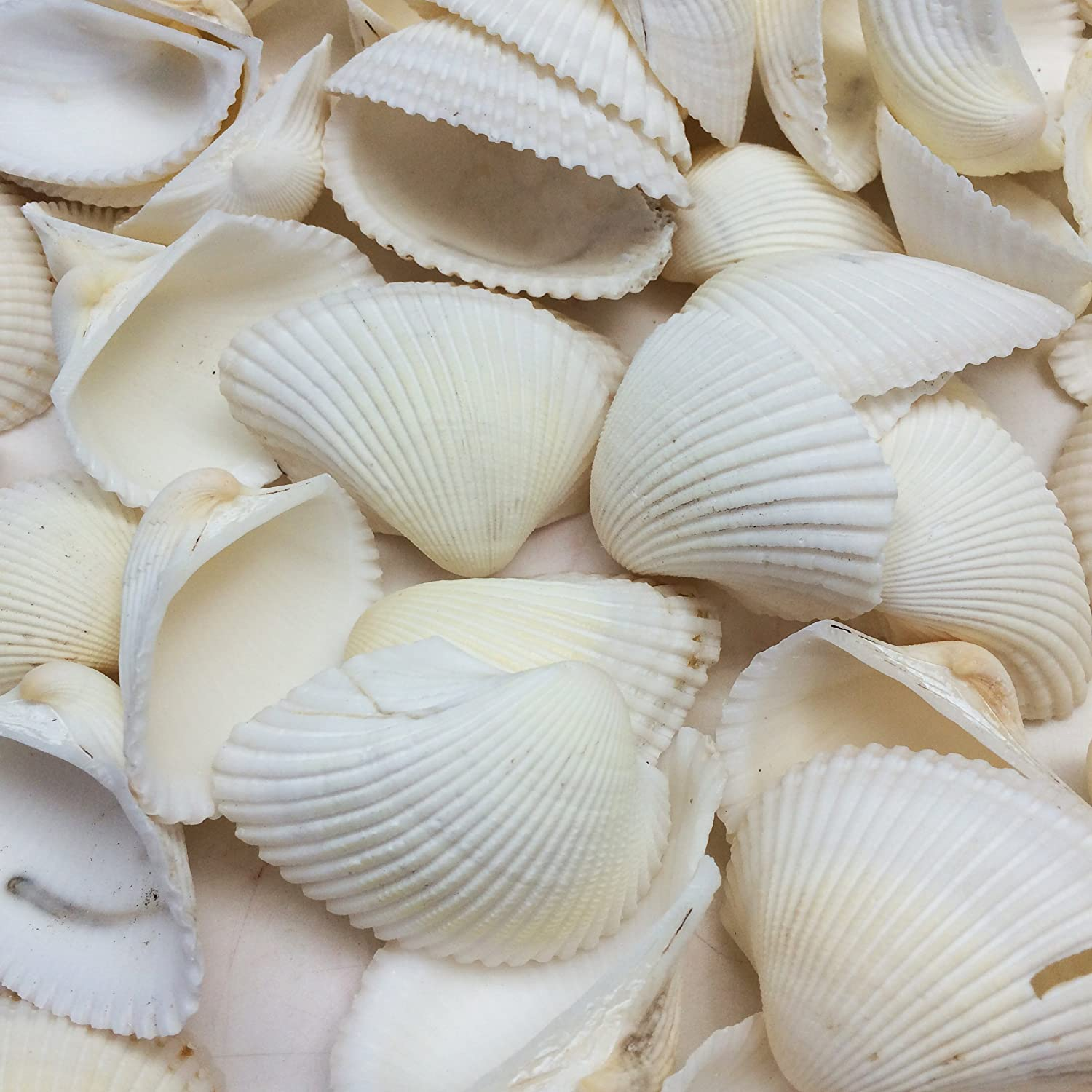 PEPPERLONELY White Ark Clam Sea Shells, 500 Gram Approx. 65+PC Shells, 1 Inch ~ 2-1/4 Inch