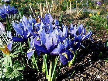 Iris Reticulata Joyce Dwarf Iris Deep Blue Spring Flowering