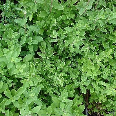 Sweet Marjoram Seeds (Origanum majorana) 75+ Culinary Heirloom Herb Seeds : Garden & Outdoor