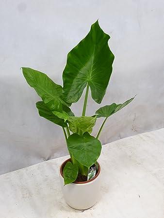 Pflanze Mit Großen Blättern palmenlager alocasia calidora elefantenohrpflanze 100 cm