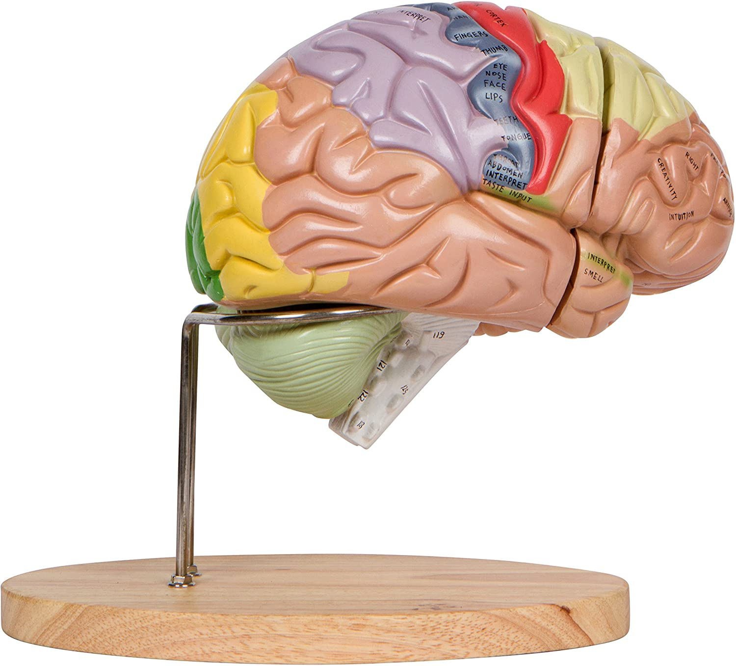 Human Brain Model Numbered With Carrying Case 2x Life Size