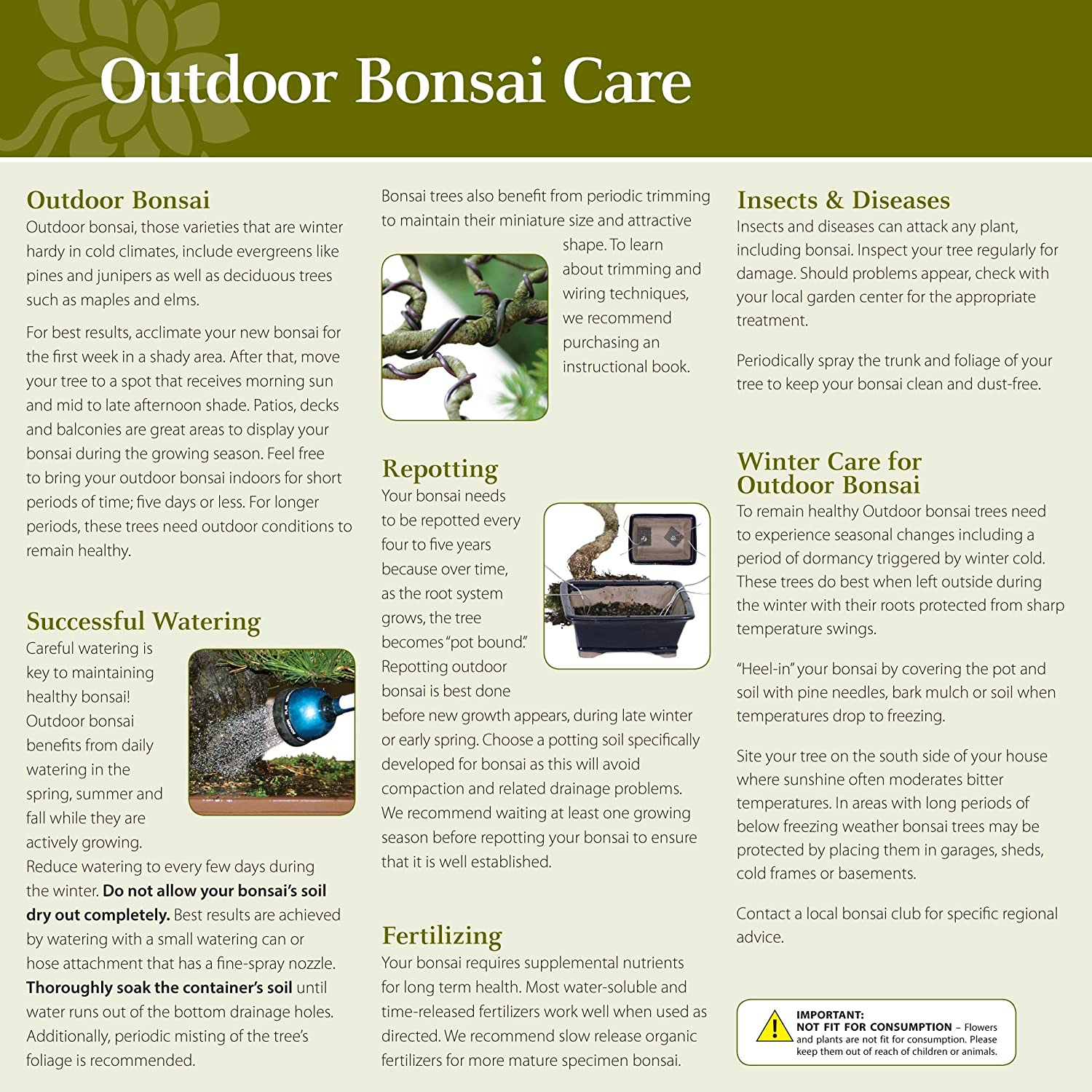 Brussels Chinese Elm Bonsai Small Outdoor Garden Wiring Time