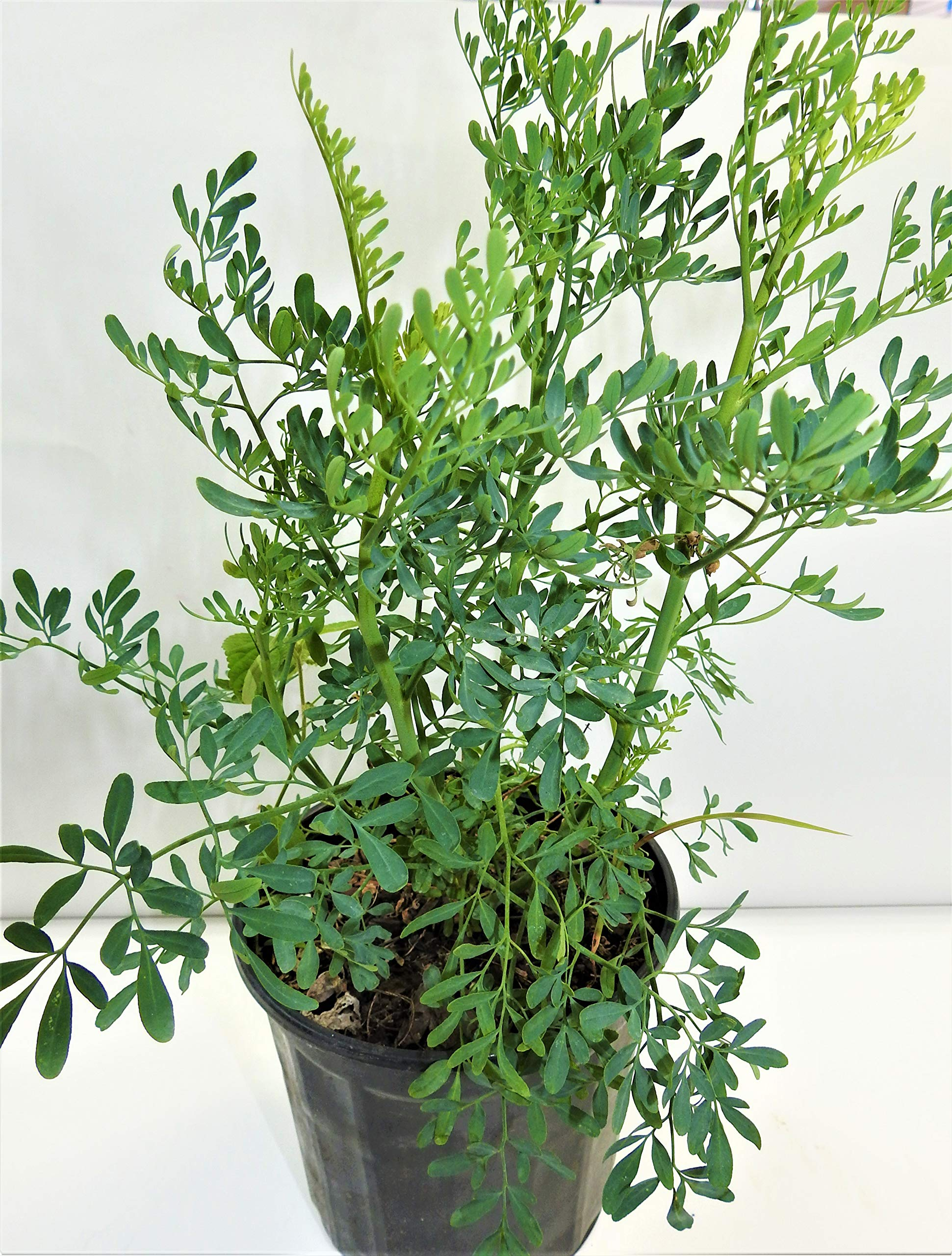 ruda/rue Full Plant with Root by botanica las americas