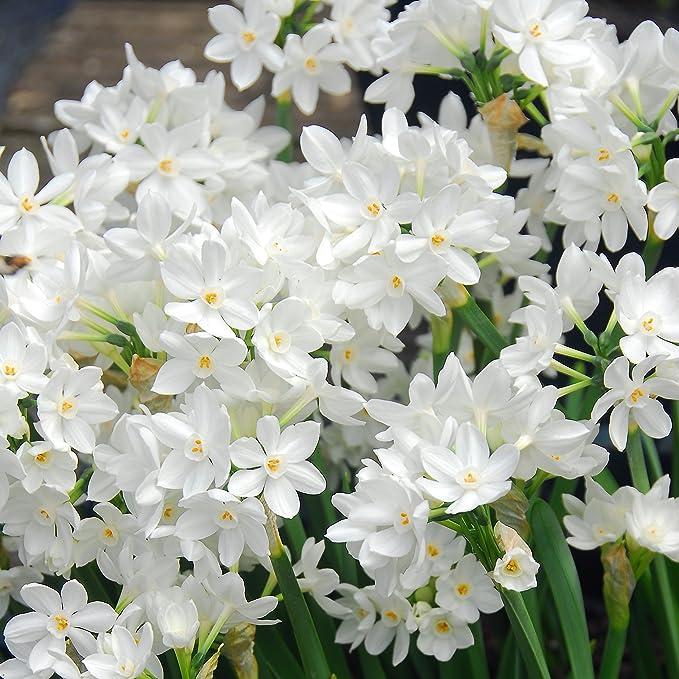 Amazon.com : Narcissus Ziva Paperwhites - 20 bulbs - 17+ cm | Ships ...