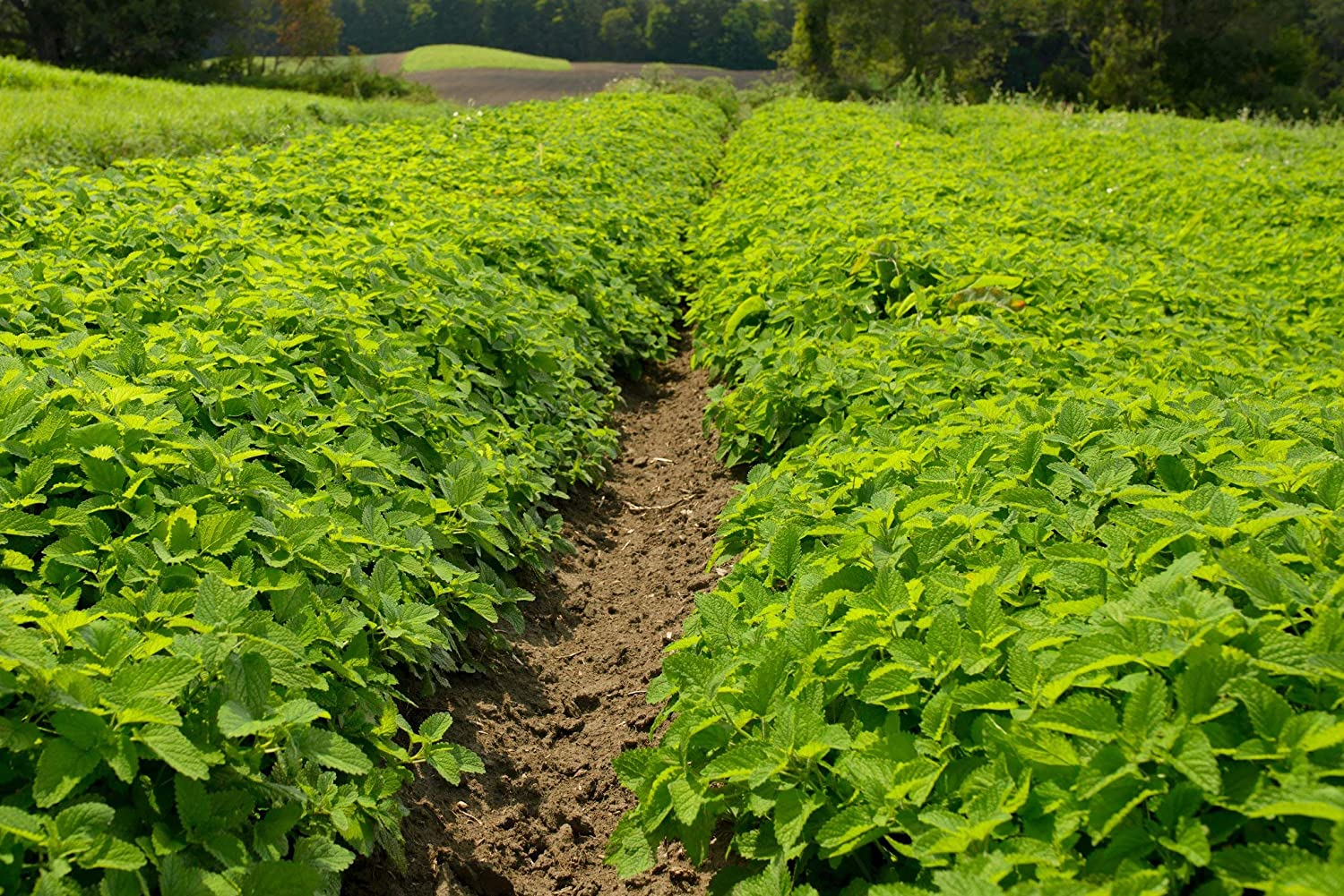 Lemon Balm 25g Quantity Options 0.25g Approx Melissa officinalis 5g 0.25g Approx. 400 Seeds 400 Seeds