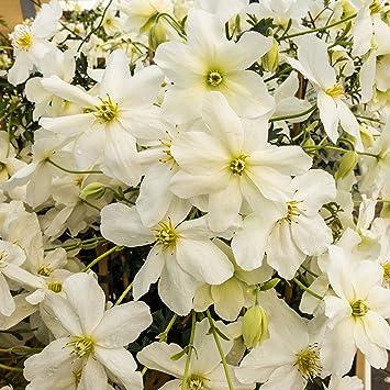 Clematis - Avalanche - weiß/cremefarbende Blüten - 60-70cm 2ltr ...