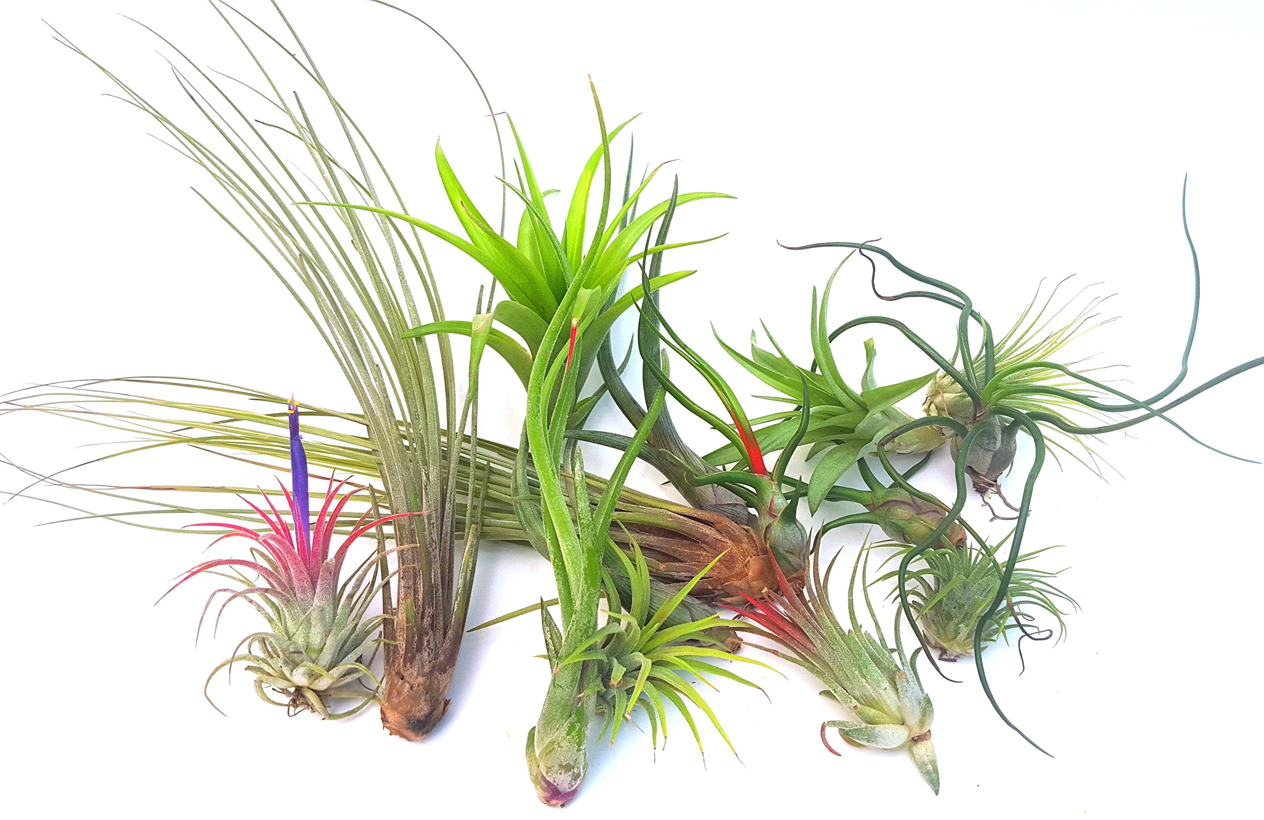 Air Flora Air Plants Exotic Mix Loose Growers Choice, Small, Mix Colors