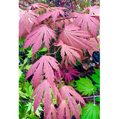 Ariadne Japanese Maple 4 - Year Live Plant : Tree Plants : Garden & Outdoor