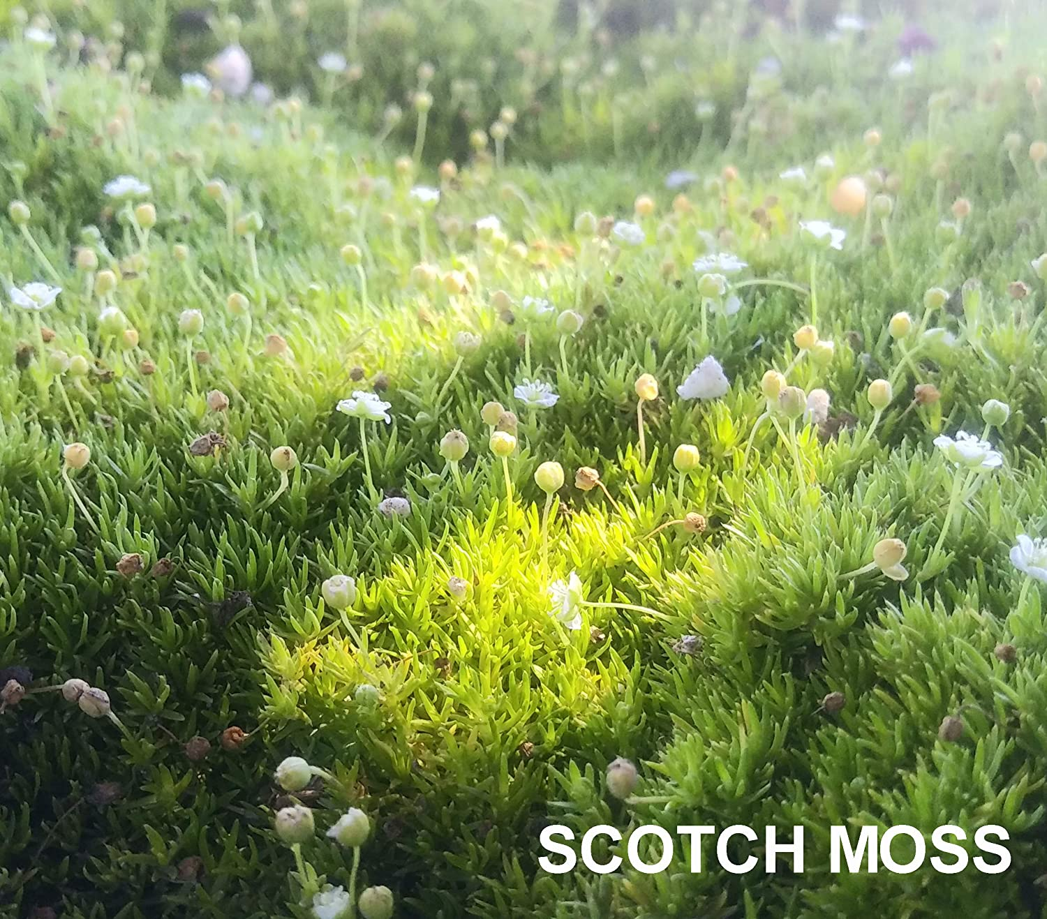 Amazon Com Live Scotch Moss Plant Sagina Subulata Aurea