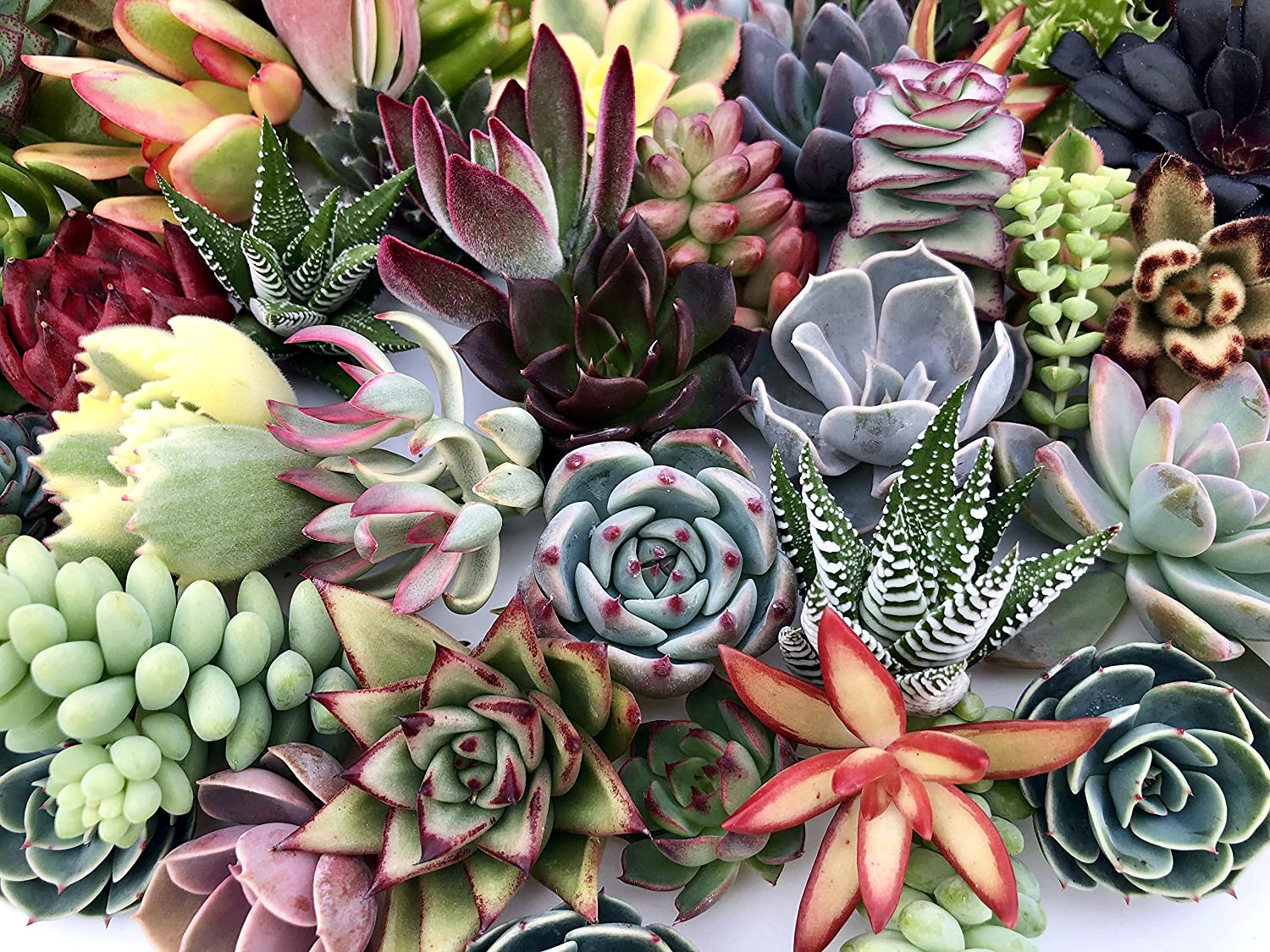 Amazon Com 10 Assorted Live Succulent Cuttings No 2 Succulents