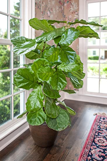 Ficus Lyrata   U0027Fiddle Leaf Figu0027 Tree   Houseplant