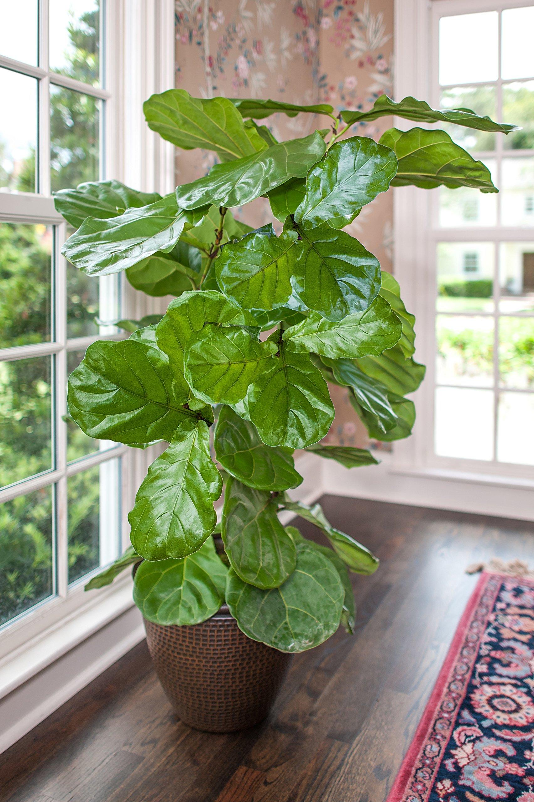 Ficus Lyrata - 'Fiddle Leaf Fig' Tree - Houseplant