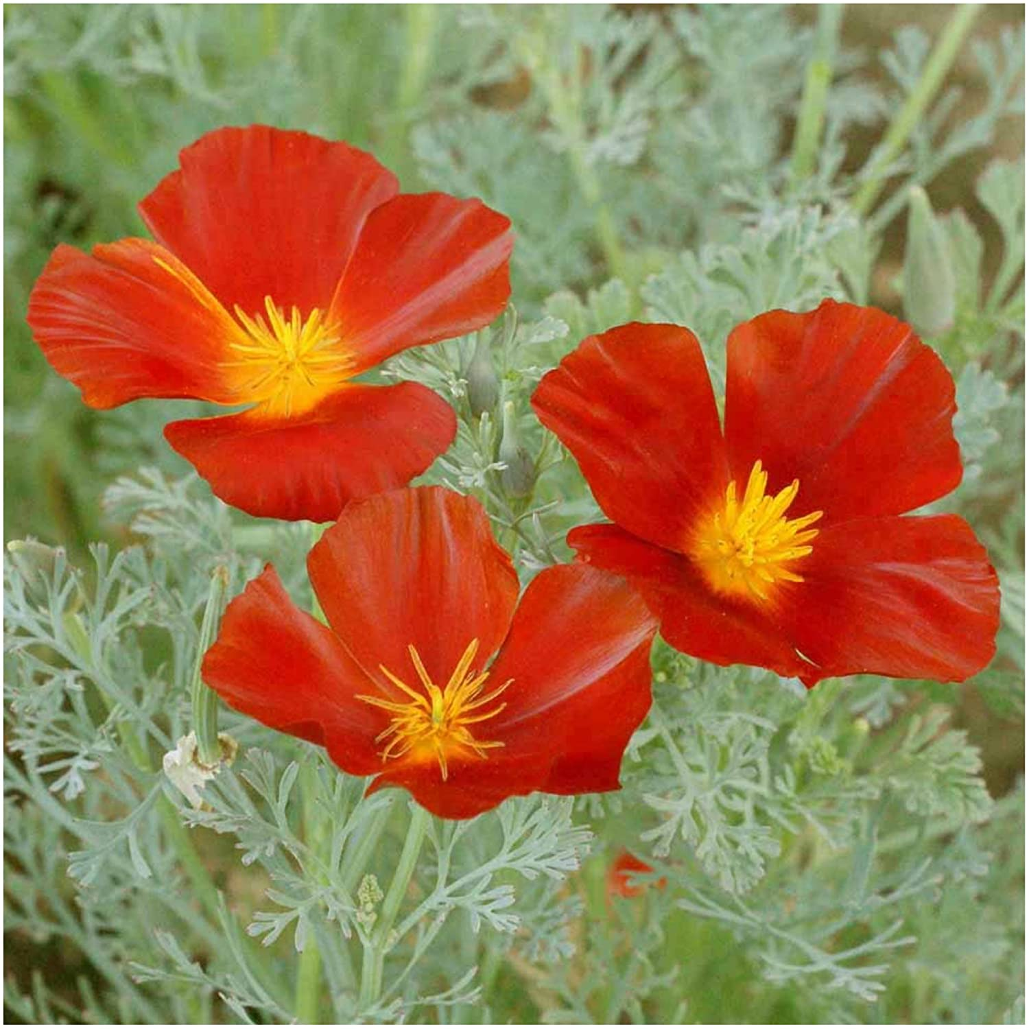 amazon com package of 2 000 seeds red chief california poppy