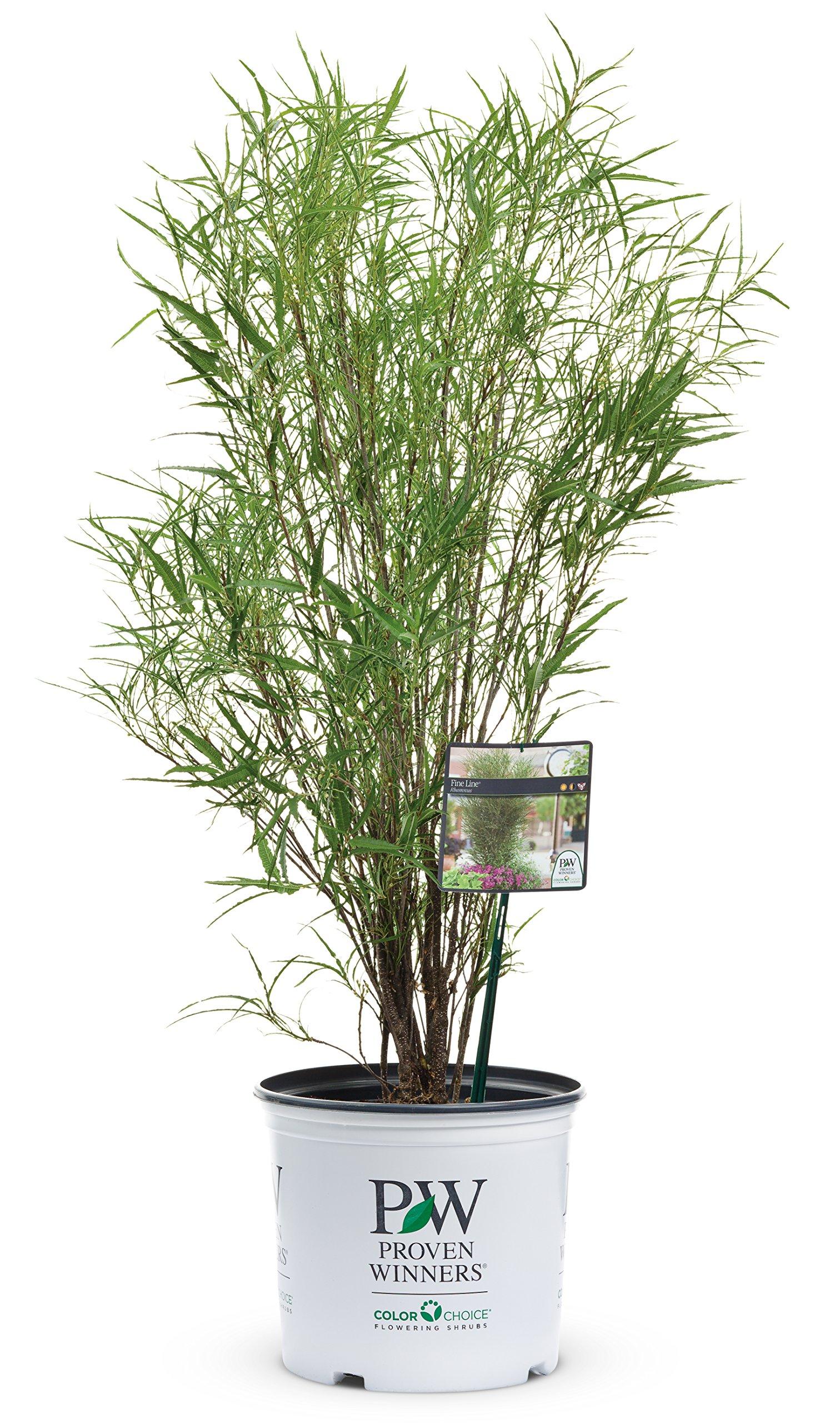 Fine Line Buckthorn (Rhamnus) Live Shrub, Green Foliage, 1 Gallon