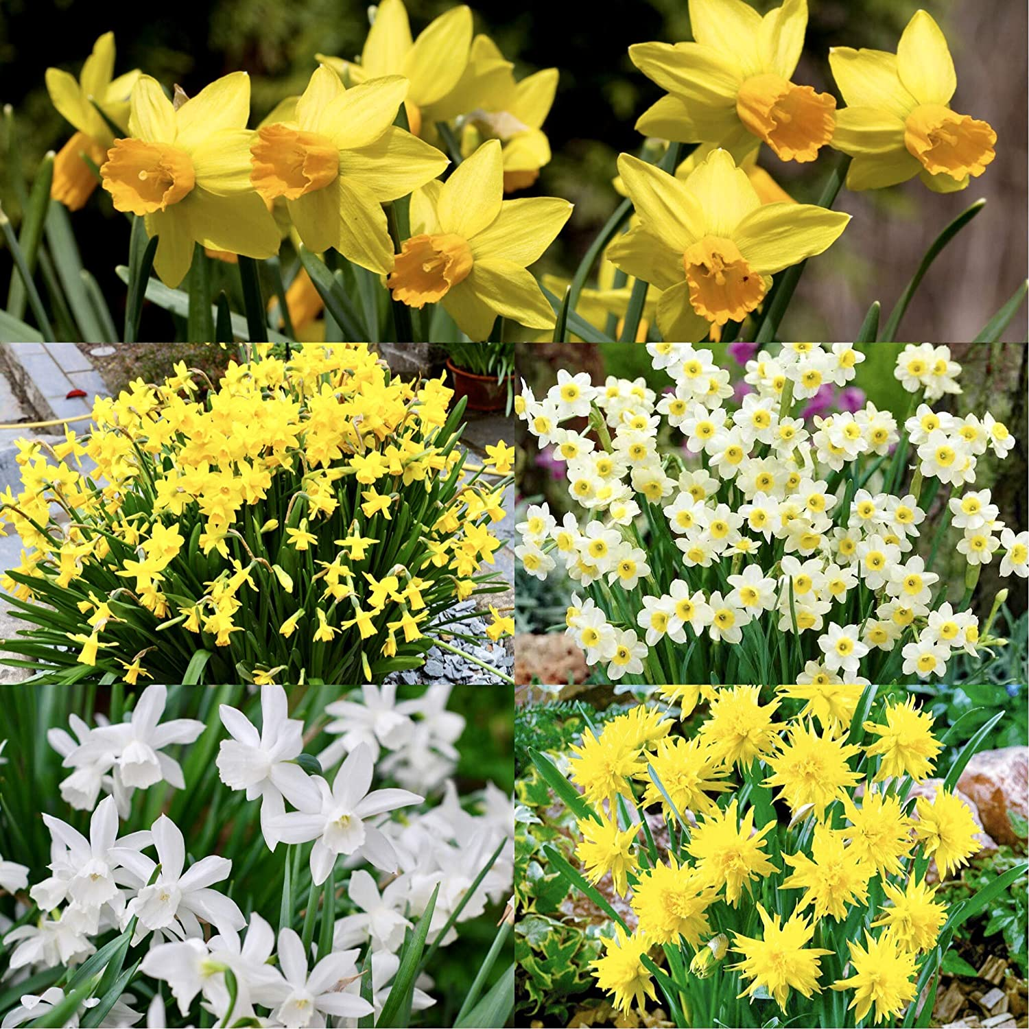 by Woodland bulbs/® 100 x Mixed Daffodils Bulbs /'Dwarf Rockery Miniature Narcissus /' 5 Varieties Including Tete a Tete Free UK P/&P Spring Flowering Bulbs Ready to Plant