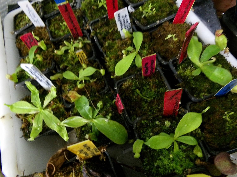 Fleischfressende Pflanze - Nepenthes alata