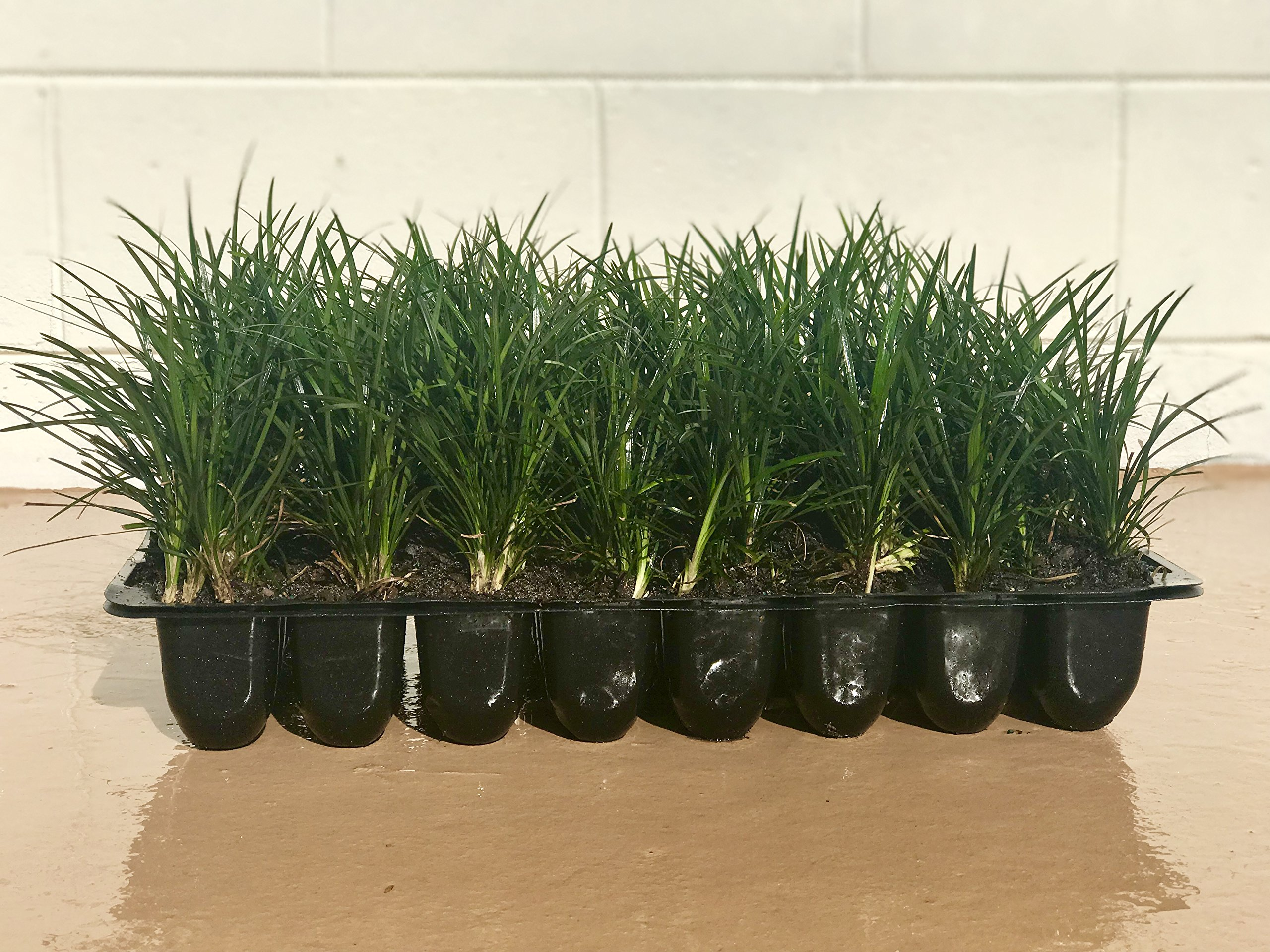 Mondo Grass - 20 Live Plants - Ophiopogon Japonicus - Shade Loving Evergreen Groundcover