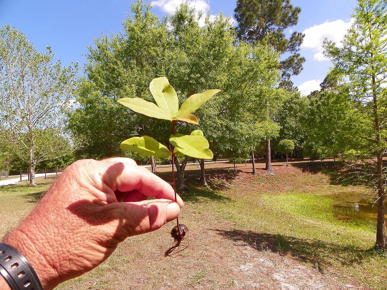 6 Piantine radicate di Laurel Oak (Quercus laurifolia)