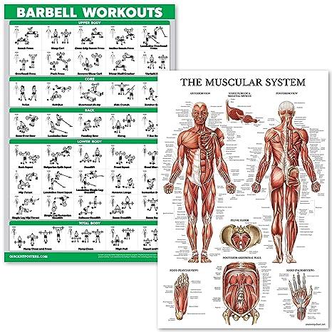 QuickFit Barbell Juego de póster de anatomía con sistema muscular ...