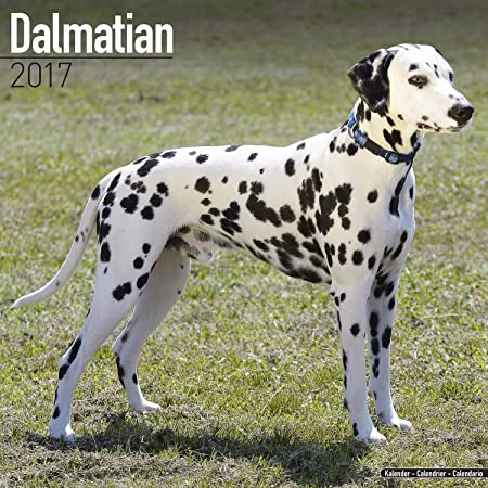 dalmatian-calendar-2017-dog-breed-calendars-2016-2017-wall-calendars-16-month-by-avonside