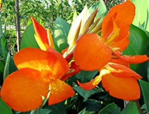 (5) Beautiful Mixed Colors Flowering Canna Lily Fresh Top Size Rhizomes/Bulb/Plant