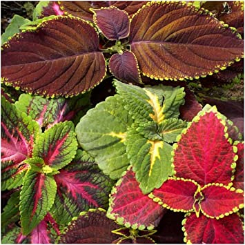 Amazoncom Package of 800 Seeds Rainbow Mixed Coleus Coleus