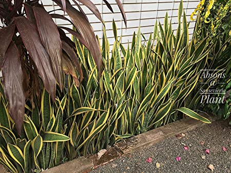 Amazon Com Mother In Law S Tongue Sansevieria Plant 1 Fresh