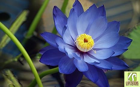Liveseeds , Bonsai Lotus / Lotus Pond Bowl / Fleur Nénuphar / frais Lotus  Bleu 5 graines