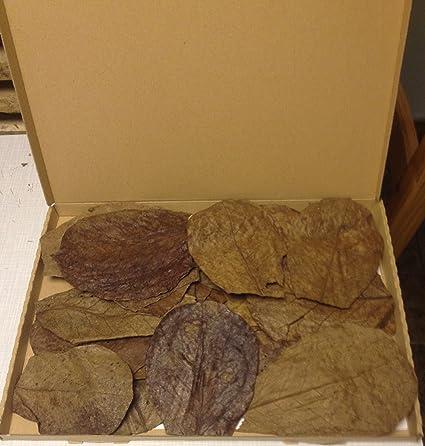 30 Stück Seemandelbaumblätter 10-15cm ?BLITZVERSAND im Karton? Seemandellaub Catappa Leaves ? Original Markenware von SMSF-In