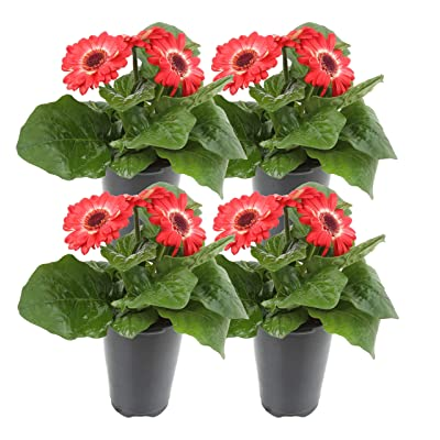 Costa Farms Gerbera, Transvaal Daisy Live Outdoor Plant 1 QT Grower's Pot, 4-Pack, Red Flowers: Garden & Outdoor