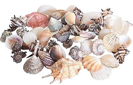 Bolsa Conchas De Mar Tropicales Grande 1 Kg Casa Decorar Interior - Fotos-de-conchas-de-mar