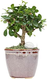 Costa Farms Mini Bonsai Ficus Fukien Tea Live Indoor Tree with Inspirational Message in Mocha Home Décor, Ready Ceramic Planter, Gift
