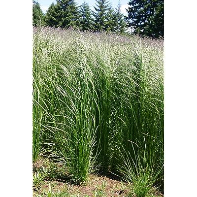 1/4 Pound of Slender Hairgrass (Seeds) : Garden & Outdoor