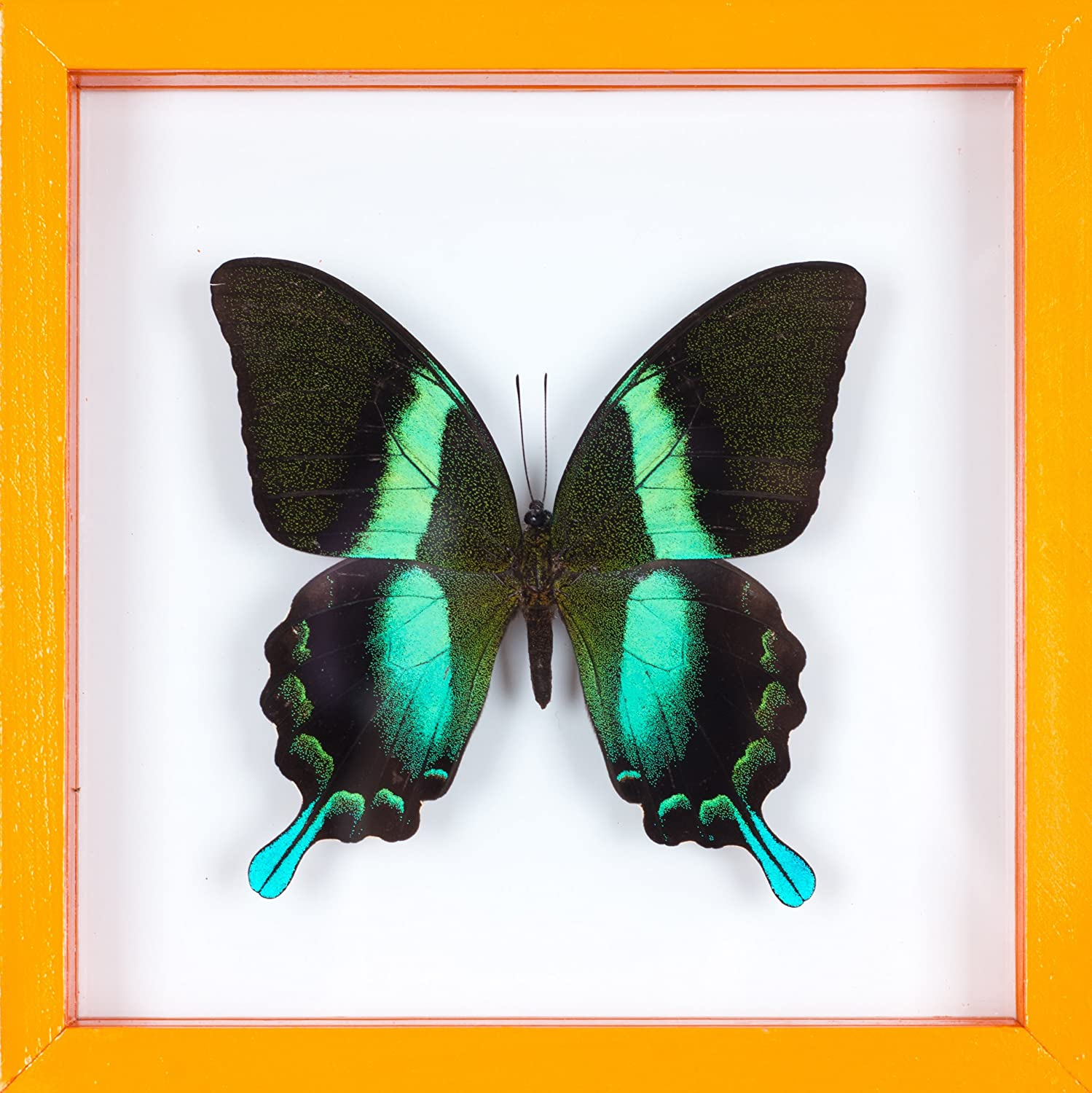 Amazon.de: Echter Schmetterling gerahmt, Taxidermie Schmetterling ...