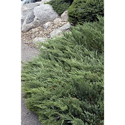 Juniper - Hughes - Juniperus Horizontalis - 6 inch Pot - Drought Tolerant Evergreen : Garden & Outdoor
