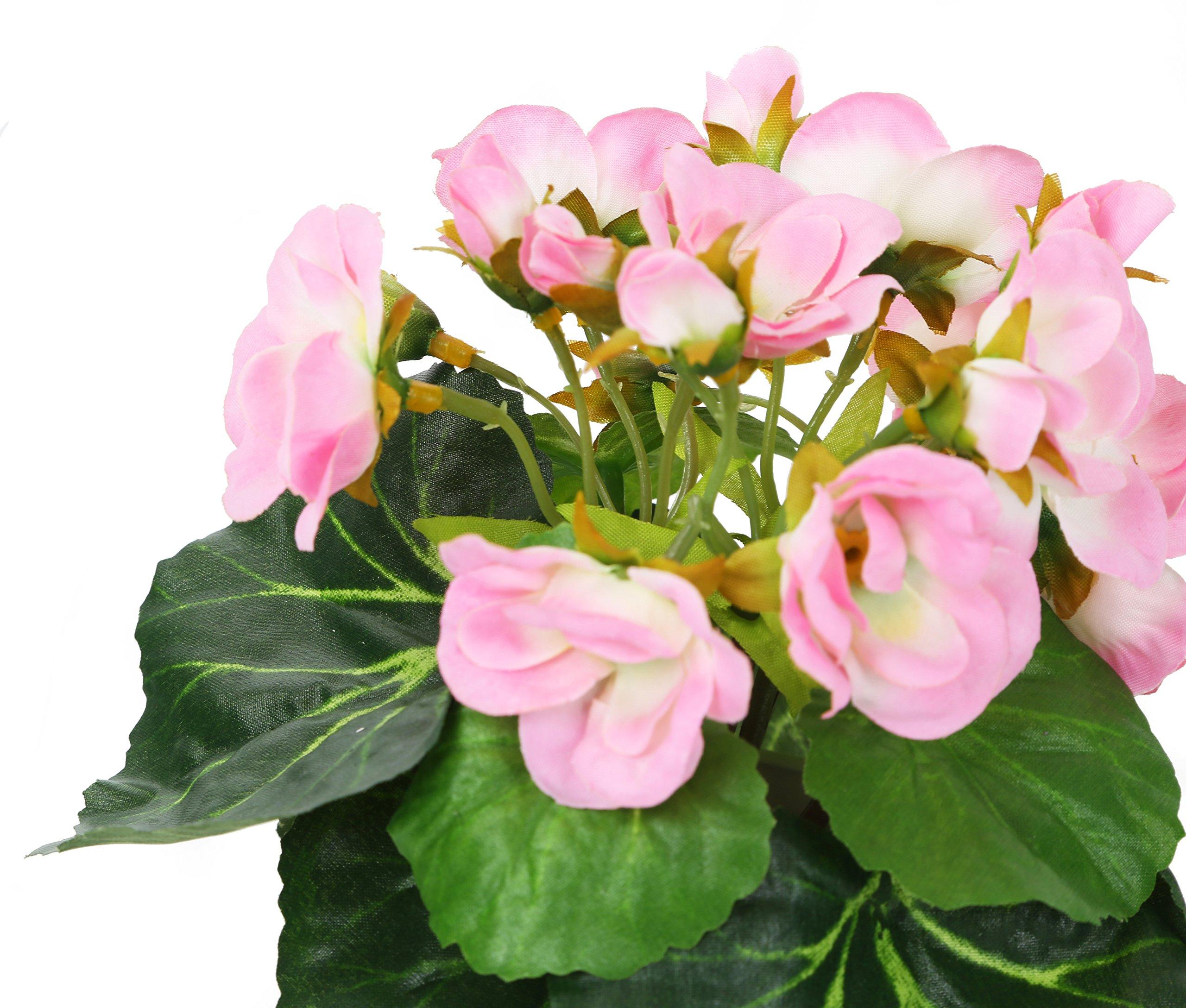 Pink African Violet Plant