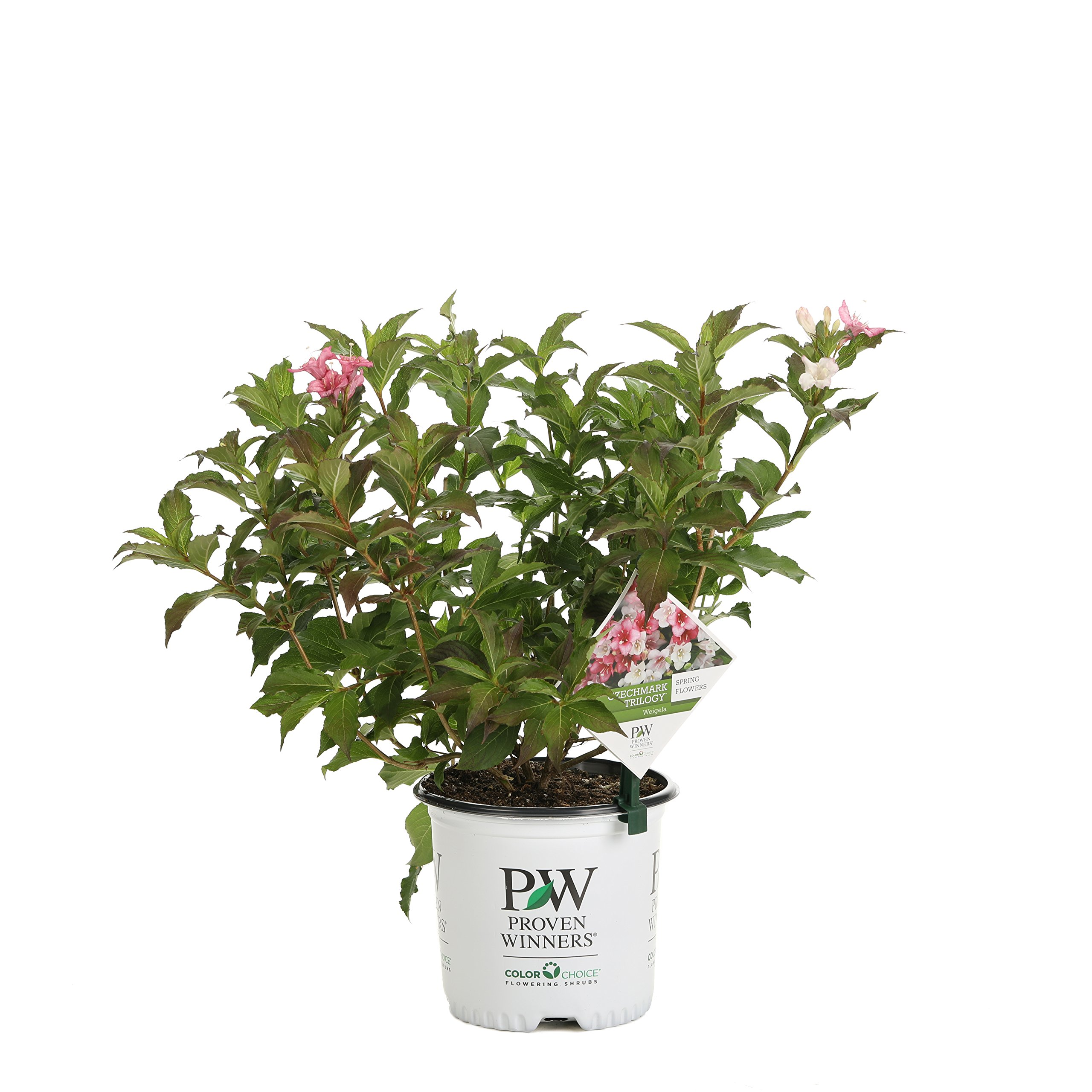 Czechmark Trilogy (Weigela) Live Shrub, White, Pink, and Red Flowers, 1 Gallon by Proven Winners (Image #1)