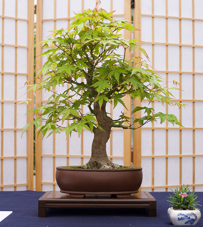 Bonsai Tree The Jonsteen Company Seed Grow Kit Joshua Tree