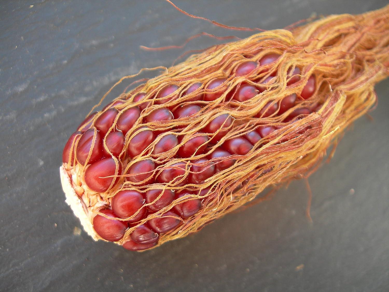Ma/ïs Fraise Pop Corn SEM03 Popcorn Red Strawberry 3 graines Zea Mays Pop Corn