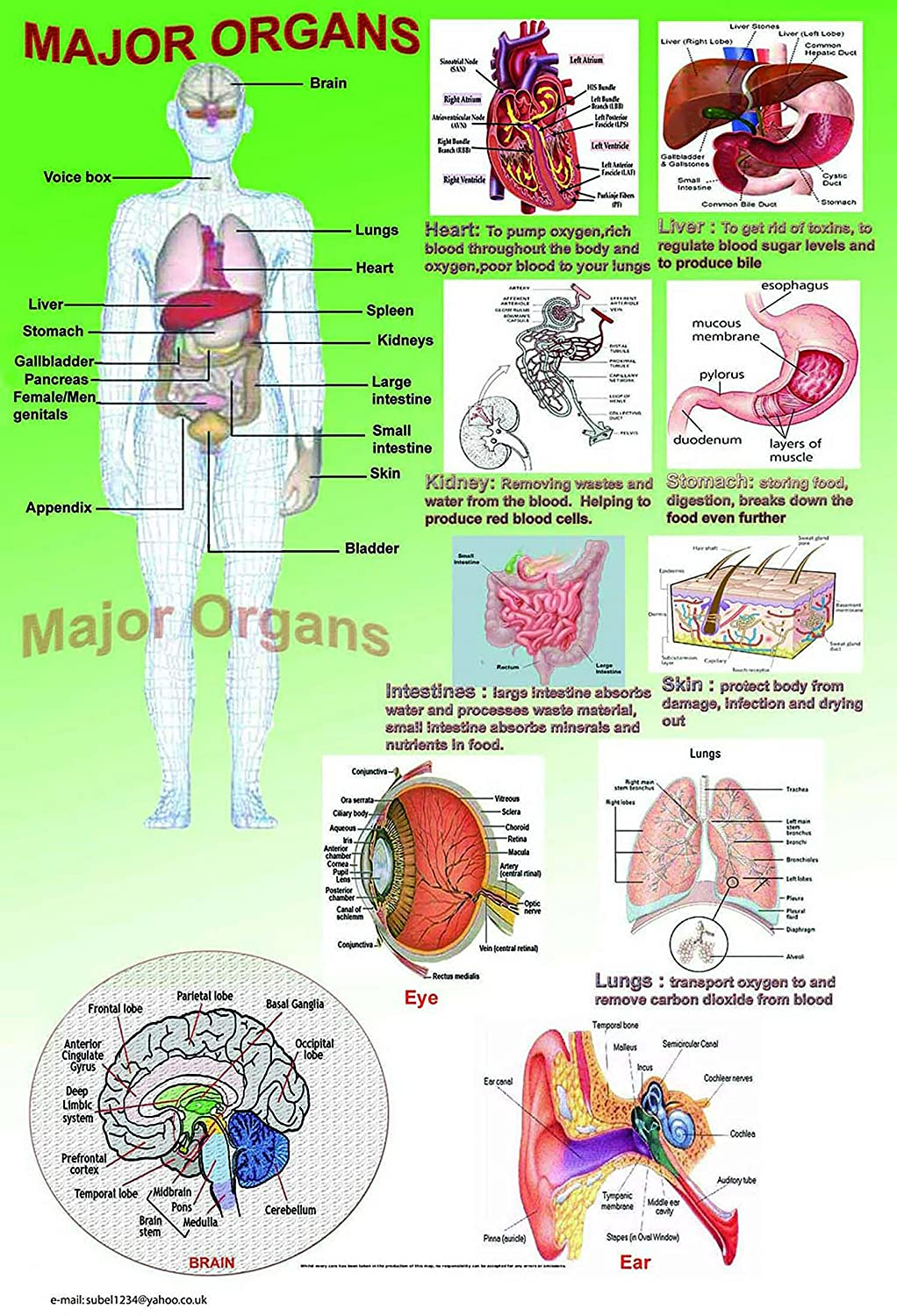 laminated MAJOR ORGANS HUMAN BODY educational poster | school type ...