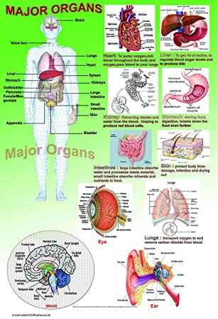 organs in the human body