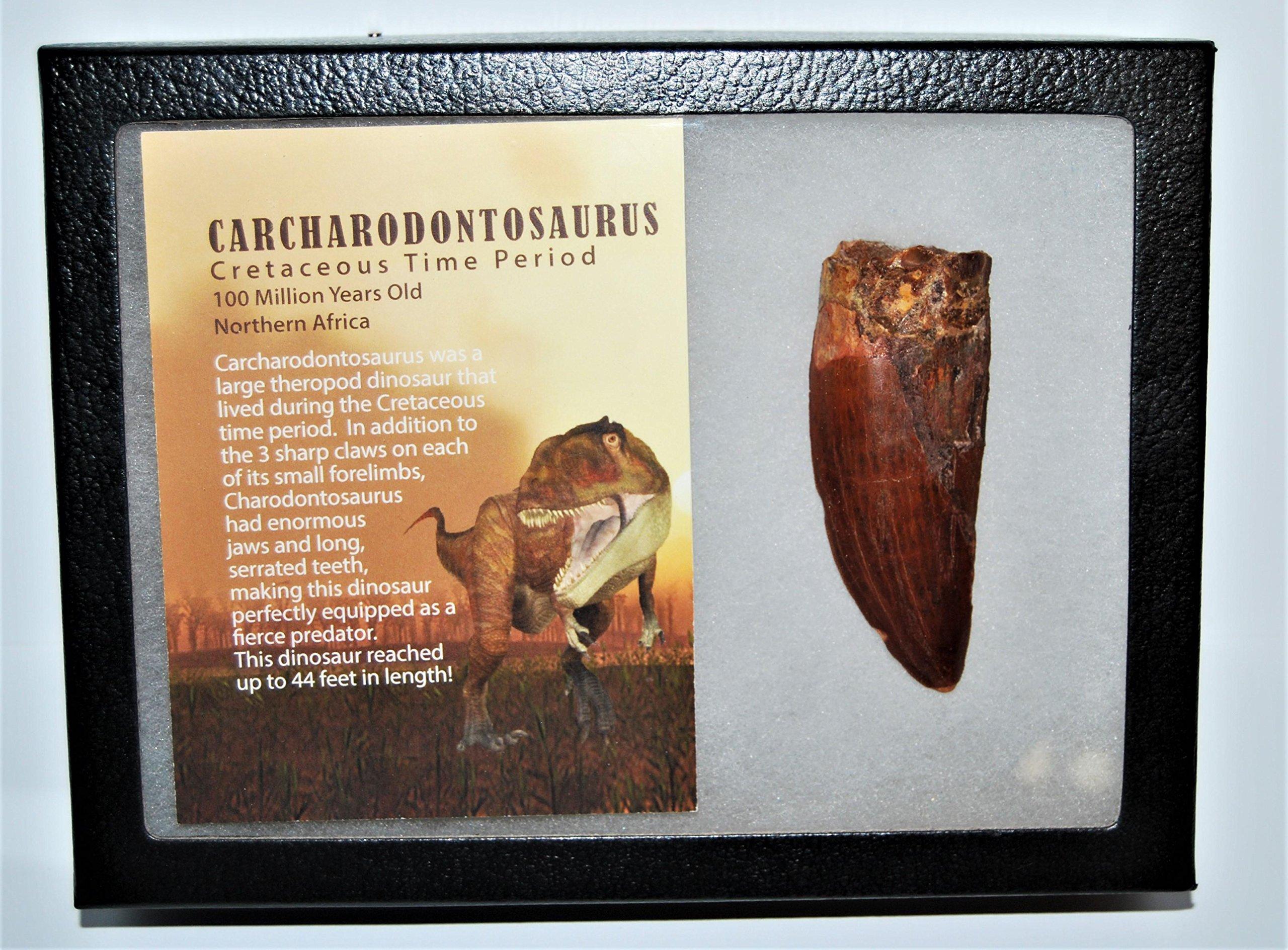 CARCHARODONTOSAURUS Dinosaur Tooth 3.263'' Fossil African T-Rex LDB #13222 21o