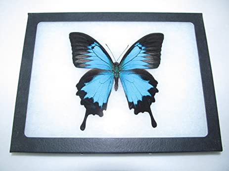 Amazon.com - REAL FRAMED BUTTERFLY BLUE BLACK PAPILIO ULYSSES ...