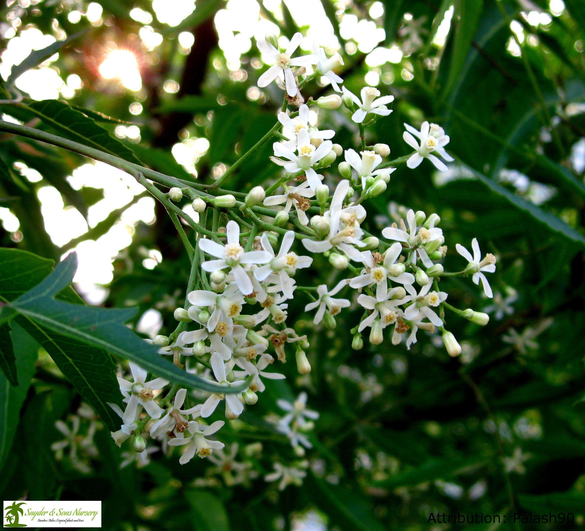 Live Neem Trees, Amazing Useful Trees, 1 Gallon