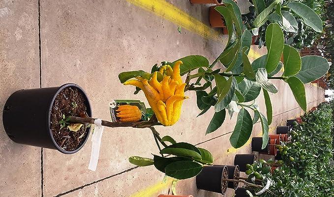 PLANTA VIVA Limonero MANO DE BUDA 1 maceta /Ø17cm Plant/ón de 1 metro