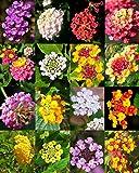 Lantana Mix, Shrub Verbenas Butterfly Garden Flowers Ham and Eggs Seed 20 Seeds