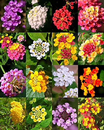 f62db38904b4e6 Amazon.com : Lantana Mix, Shrub Verbenas Butterfly Garden Flowers Ham and  Eggs Seed 20 Seeds : Garden & Outdoor