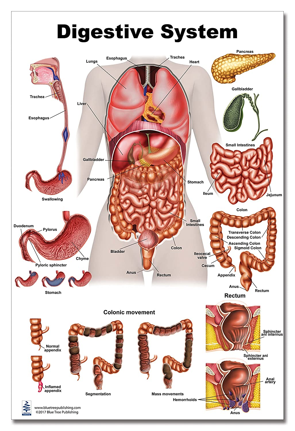 Digestive System Poster, size 12Wx17T Blue Tree Publishing Inc. 4111001