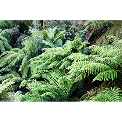 Tasmanian Tree Fern Live Plant fit 1 Gallon Pot a.k.a Dicksonia antarctica w FREE Decorative Poly Bag w Customize Funny Garden Quote : Garden & Outdoor