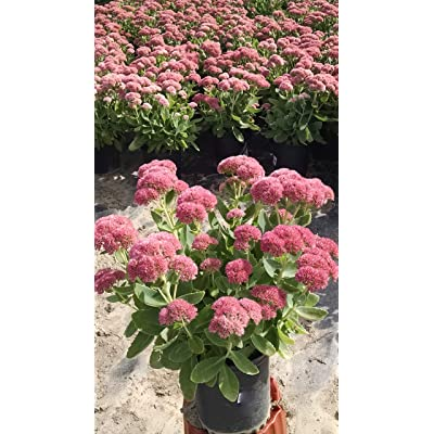 Sedum spectabilis Autumn Joy (Stonecrop) Perennial, pink flowers, 1 - Size Container: Garden & Outdoor